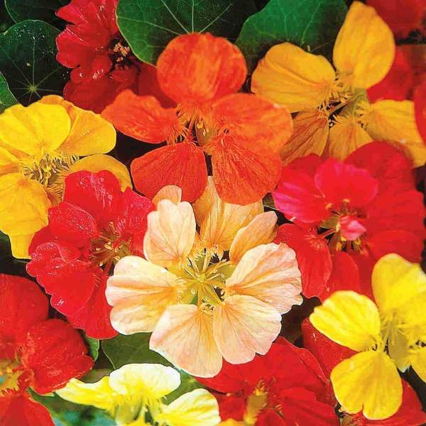 Nasturtium Mix Flowers Seeds