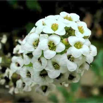 Alyssum White Flowers Seeds