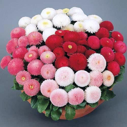 Bellis Mix Flowers Seeds
