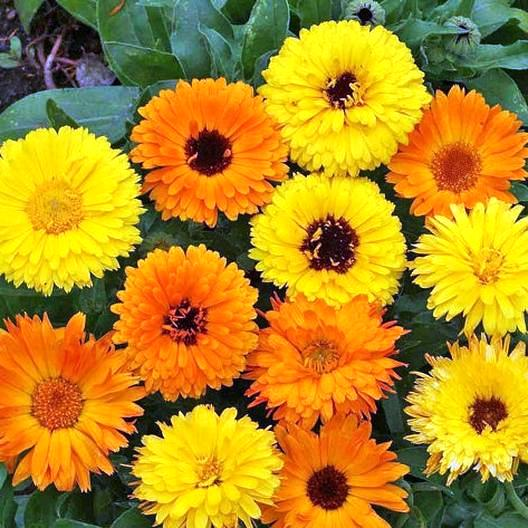 Calendula Mix Flowers Seeds