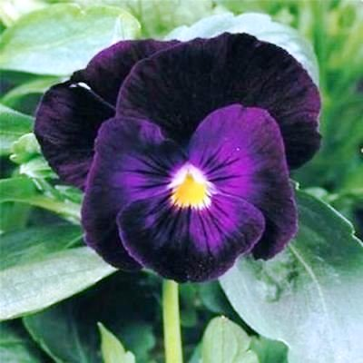 Pansy/Viola Bergwacht Flowers Seeds