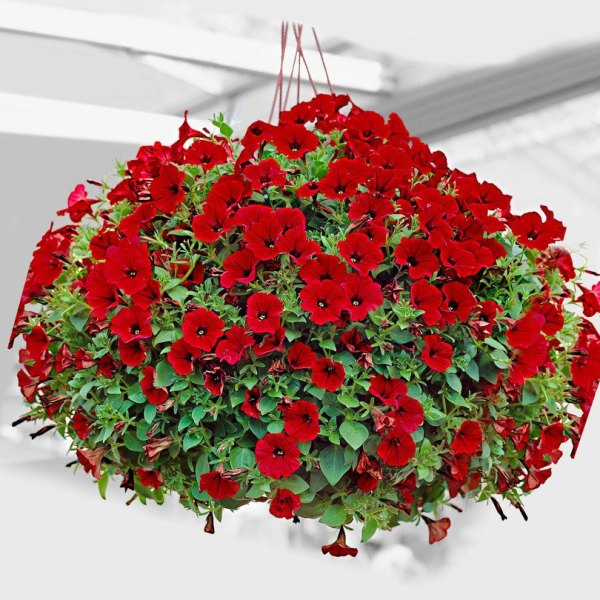 Petunia Hanging Red Flowers Seeds