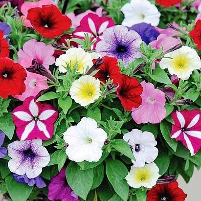 Petunia Special Mix Flowers Seeds