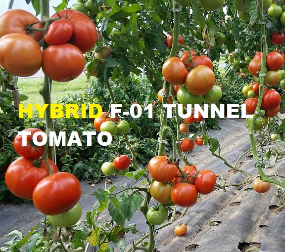 Hybrid F-01 Tunnel Tomato Seeds