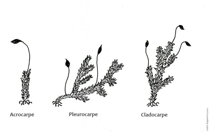 catégories bryophytes