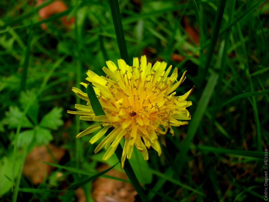 Pissenlit, fleur