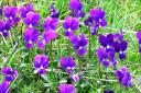 violette-pensiero.jpg