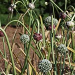 fiori aglio