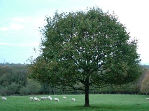 Oak Tree Image