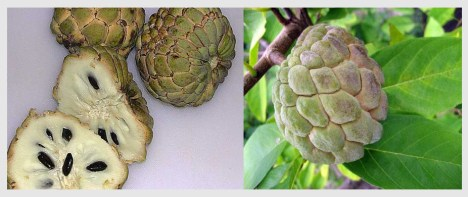 Sweetsop on a branch and cut open