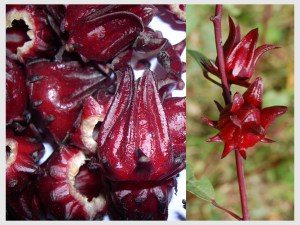Sorrel fruit and plant