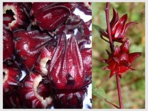 Sorrel fruit and plant