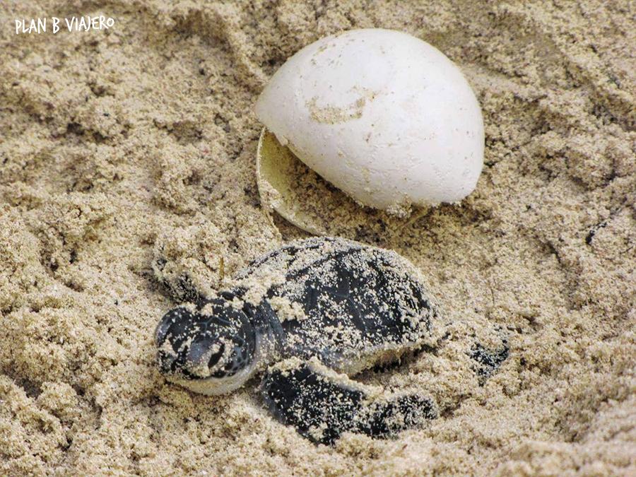 Voluntariado Con Tortugas Marinas En La Riviera Maya