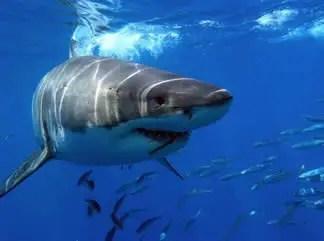 tiburon-peligro-pesca