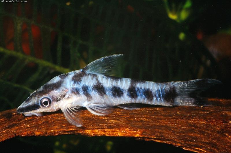 otocinclus cocama planetcatfish com