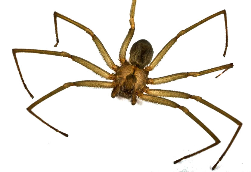 Brown Recluse - Loxosceles