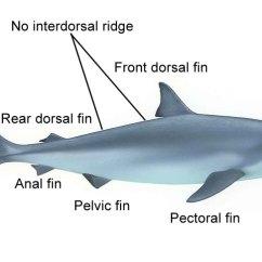 Tiger Shark Life Cycle Diagram Ceiling Fan Internal Wiring Bull Www Bellissimonyc Com Hammerhead Anatomy Diagrams Beetle Elsavadorla