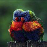 couple-oiseaux-couleurs