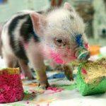 cochon-peinture-couleurs
