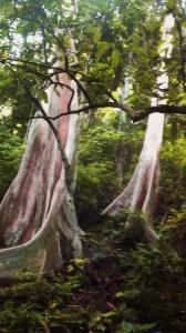 Arbres-énergie-jungle-Thailande