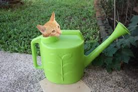 chat dans un arrosoir danger planeteanimale