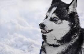 husky agressif éducation canine à Seignosse