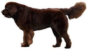 terre neuve chien