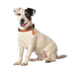 collier pour chien arlequin jack russel bobby france