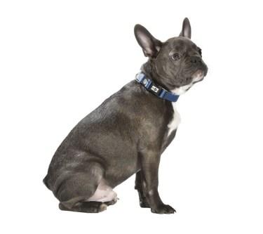 collier-spotted-bleu-chien-BOULEDOG