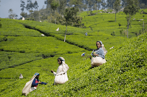 Tea Laborers in Sri Lanka