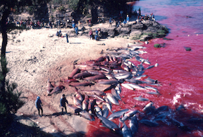 Photograph from the Taiji slaughter.
