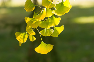 Ginkgo Trees Are Lovely - Let's Stop Planting Them - Planet