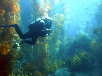 A California kelp forest (Source: WikiMedia Commons)