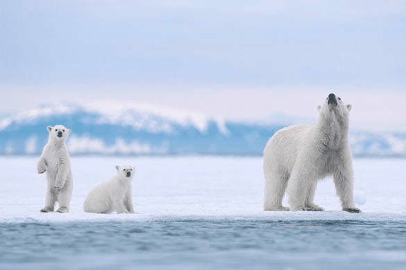 Polar bear with cubs. (Image: Creative Commons)