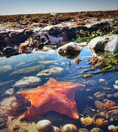 Bat star in California tidepool