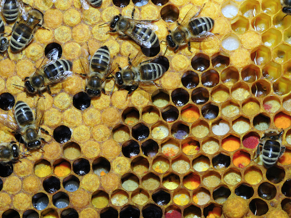 Bees storing pollen (Source: Creative Commons)