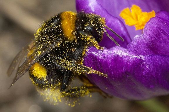 A buff-tailed bumblebee Bombus terrestris with pollen in its pile. (Source: WikiMedia Commons)