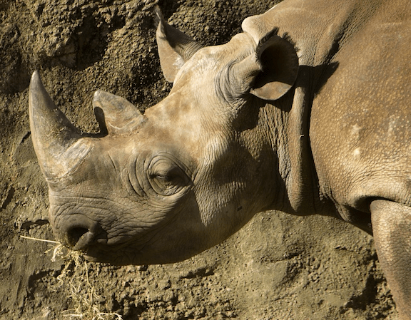 Black Rhino at Taronga Zoo, Sydney, Australia. (Image Credit: Matthew Field)