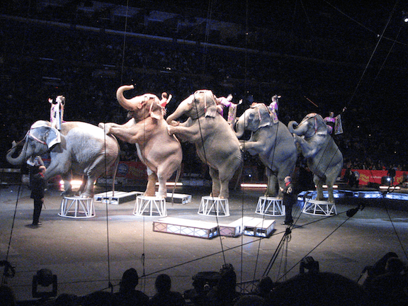 Elephants performing at the Ringling Bros. and Barnum & Bailey Circus at the Scottrade Center in St. Louis, Missouri, 2008. (Image Credit: RNAClevlen / Flickr)