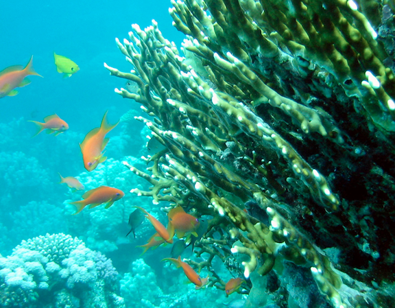Fire coral. (Image Credit: WikiMedia Commons)