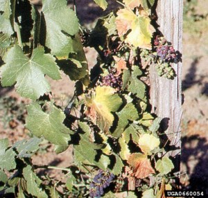 Pierce's disease of grape