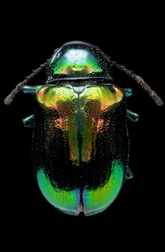 Iridescence in beetle shells and other materials—an example of structural color—is caused by nanostructures, not pigments, inspiring colorfast paints and materials. (Image Credit: Macroscopic Solutions / Flickr)
