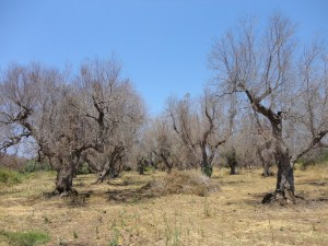 Olive trees killed by Xylella Fastidiosa