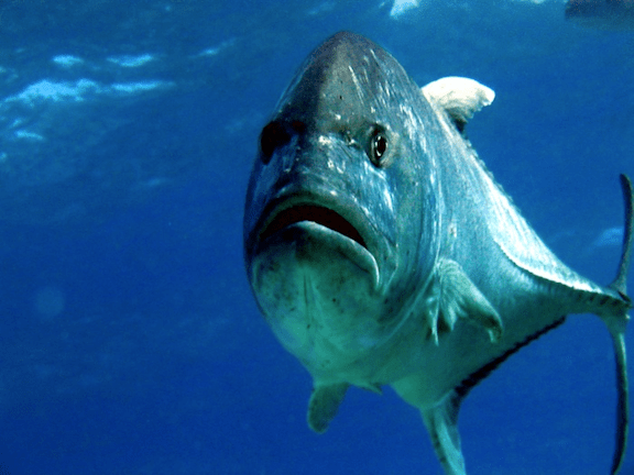 A giant trevally. (Image Credit: Dr. Dwayne Meadows, NOAA/NMFS/OPR)