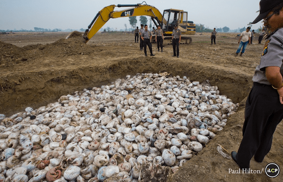 Thousands of slaughtered pangolins lie in a pit before being burnt, on 29th April 2015 in Medan, Indonesia. After a pangolin bust conducted by the Indonesian National Police along side WCS's Wildlife Crimes Unit. The haul of the world's most illegally trafficked animal is valued on the black market at USD 1.8 million. (Image Credit: Photo by Paul Hilton / ILCP)