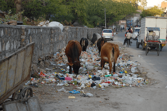 Cows eating trash, Jaipur, India. (Image Credit: Marcin Białek)