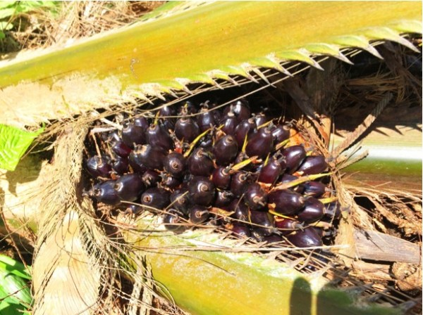 Palm kernels from which oil is extracted. (Photo: Heather Rally)