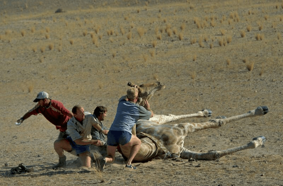 Collaring an Angolan giraffe in Namibia. (Photo Credit: Mike Kock)