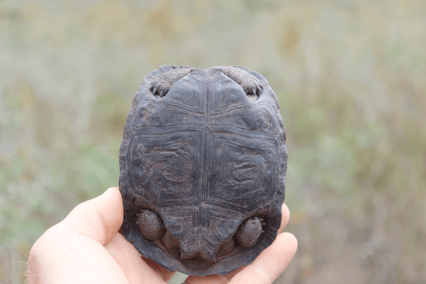 Holding a baby tortoise on the Galapagos island of Pinzón. (Photo Credit: James Gibbs)