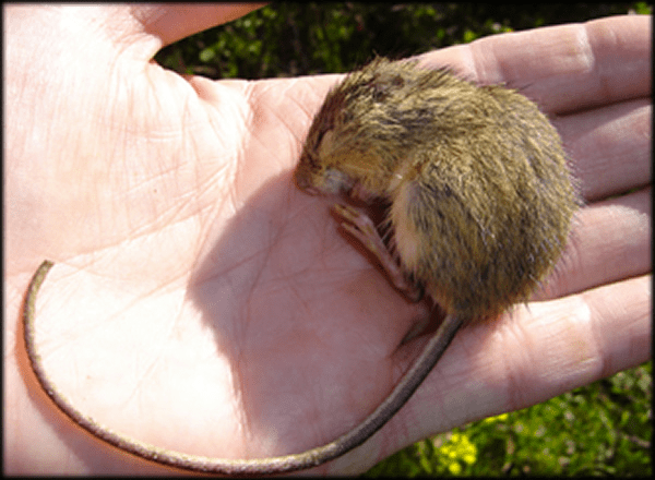Preble's Meadow Jumping Mouse. (Photo Credit: USFWS)